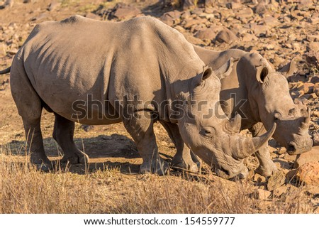 Two Rhinos grazing in the dry savannah lands of Pilanesberg National Park, South Africa - stock photo