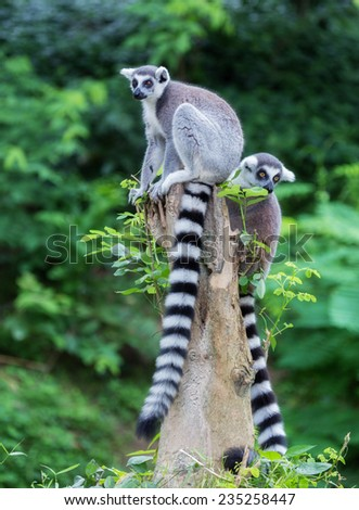 Two ring-tailed lemur (lemur catta) looking - stock photo