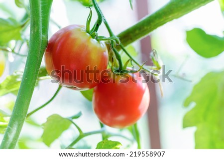 Two ripe tomatoes natural on a branch - stock photo