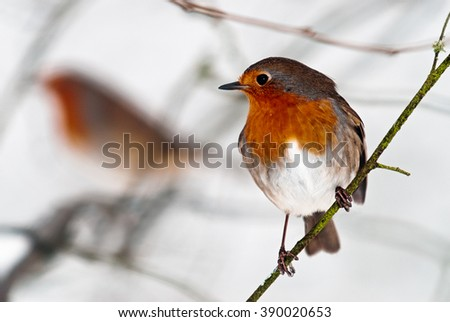 Two robins, one in focus the other out of focus in the background in snowy, winter conditions.  - stock photo