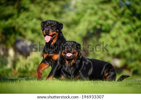 two Rottweilers lie on the lawn - stock photo