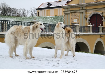 Two russian wolf hounds or Russian psovy borzoi dogs standing in winter park with Nesvizh Castle at background, Belarus. - stock photo