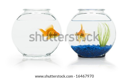 Two ryukin goldfish in contrasting fish bowls. - stock photo