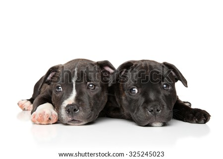 Two sad puppy of breed Staffordshire bull Terrier lying on a white background - stock photo