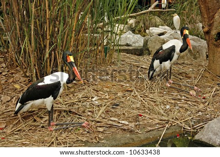 Two saddlebill stork bird - stock photo