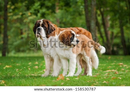 Two saint bernard dogs standing in the park - stock photo