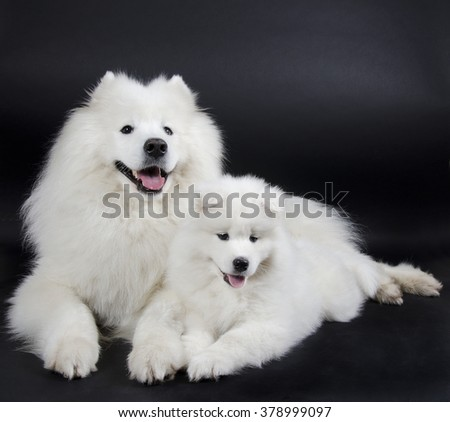 Two Samoyed dogs (on a black background) - stock photo