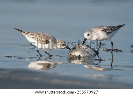 Two Sanderlings (Caladris alba) picking at a dead fish on the beach - stock photo