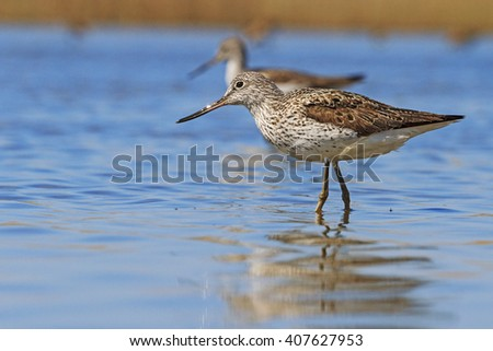 Two sandpipers among the blue water, a pair of birds, spring games,Common greenshank - stock photo