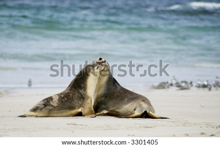 Two sea lions touching each other on a beach at Kangaroo Island in South Australia - stock photo