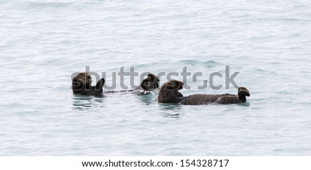Two Sea Otters in Water Near Seward Alaska - stock photo