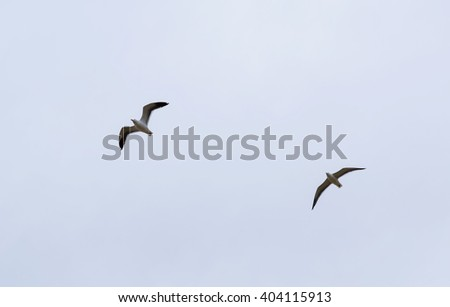 Two seagulls in flight. Portrait of a Seagull flying against cloudy blue sky. - stock photo