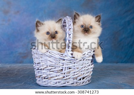 Two Seal Mitted Ragdoll kittens sitting inside lilac blue basket on blue background - stock photo