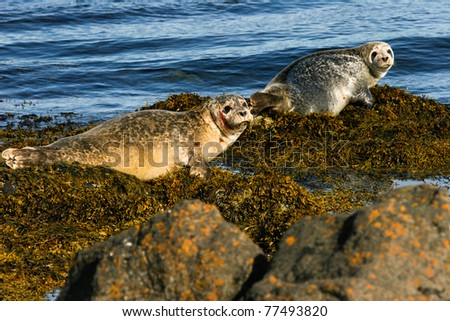Two Seals on the rock, Iceland - stock photo