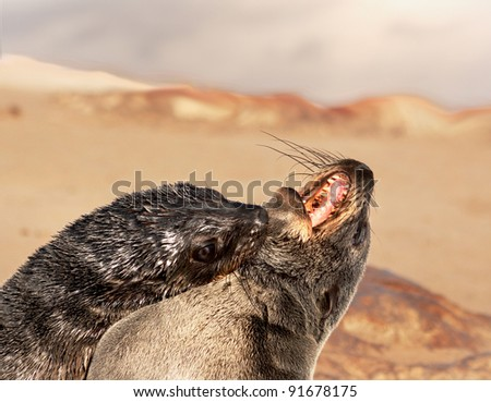Two seals play fighting and biting each other (Arctocephalus pusillus) - stock photo
