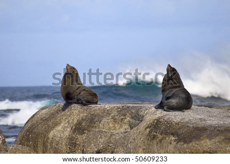 Two seals sitting on edge of rock with wave crashing in the background. - stock photo