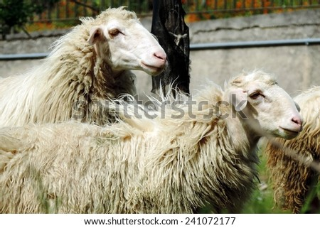 Two sheep - stock photo