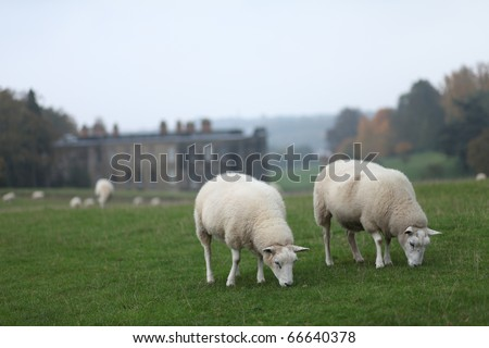 Two Sheep Grazing - stock photo