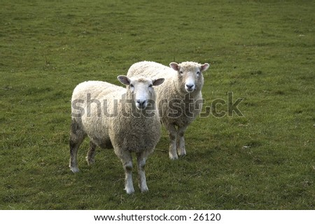 Two sheep in New Zealand - stock photo