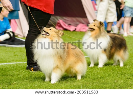 Two Shetland sheepdogs looking at handlers waiting for treats. - stock photo