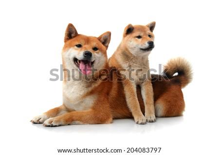 Two shiba inu dogs on white - stock photo