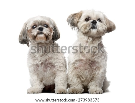 Two Shih Tzus in front of a white background - stock photo
