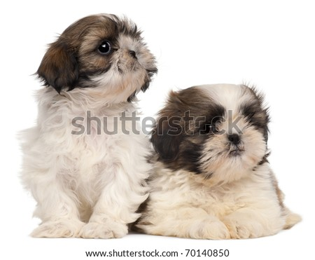 Two Shih-tzus in front of white background - stock photo