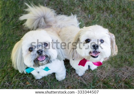 two Shitzu dogs at the park wearing bowties - stock photo