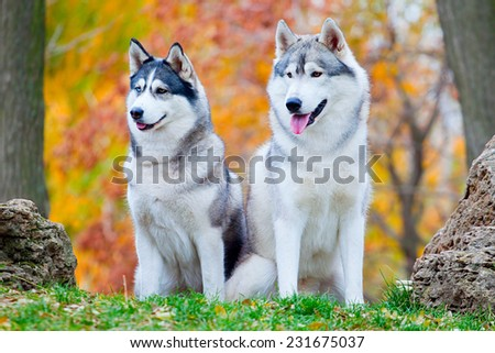 Two Siberian Huskies in autumn park - stock photo