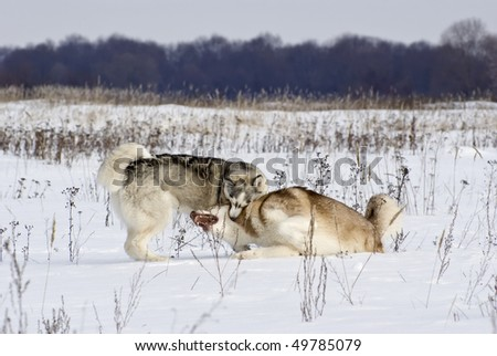 Two siberian husky play among themselves on a steppe landscape - stock photo