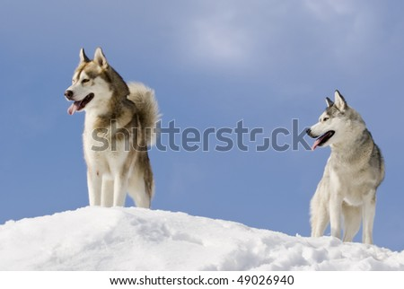 Two siberian husky stands at snow mountain top - stock photo
