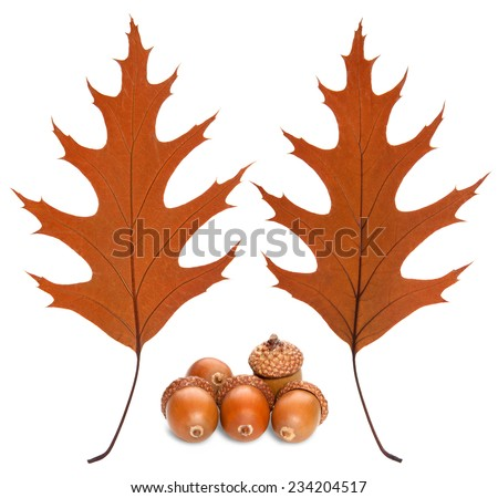 Two sides of a sheet of oak and acorns - stock photo