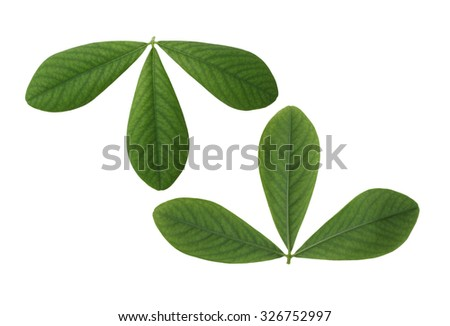 Two sides of False Indigo Leaf isolated on white background - stock photo
