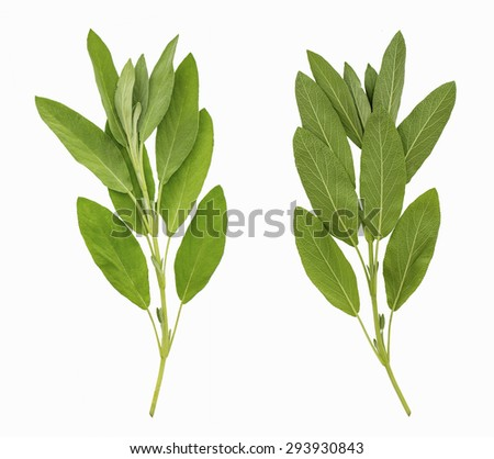 Two sides of sage leaves isolated on white background - stock photo