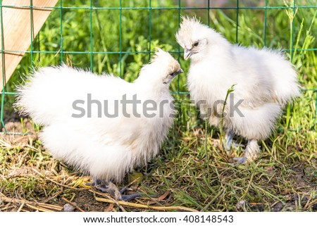 Two Silkie chick in hen house. The Silkie is a breed of chicken named for its atypically fluffy plumage, which is said to feel like silk, and satin. They are often exhibited in poultry shows. - stock photo