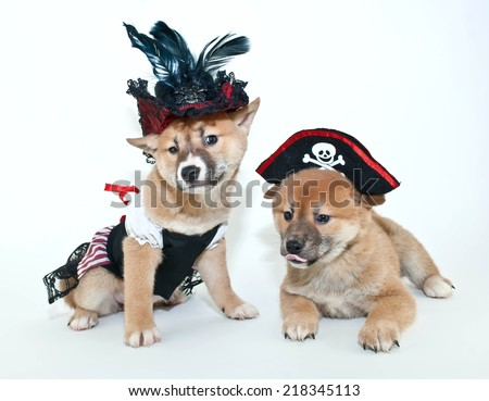 Two silly Shiba Inu puppies making silly faces, dressed up in pirate outfits on a white background - stock photo