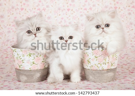 Two Silver Chinchilla Persian kittens with floral vases containers on floral background cloth - stock photo