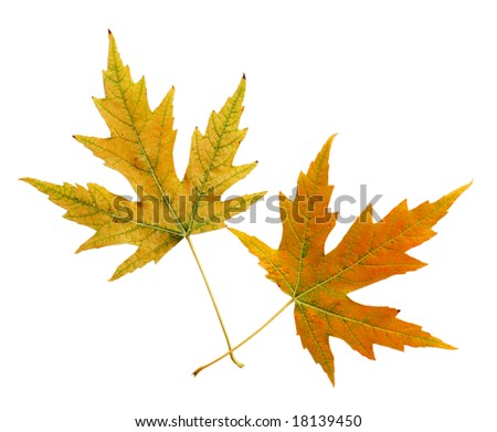 Two silver maple leaves in the fall - stock photo