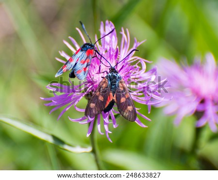 Two six-spot burnet butterflies at the blossom of a clover flower - stock photo