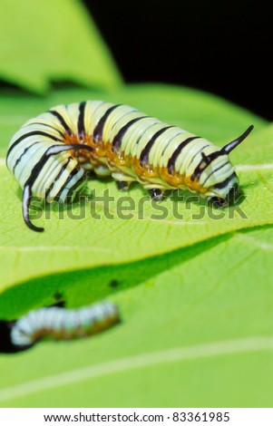 two size of Caterpillar on the green leaf - stock photo