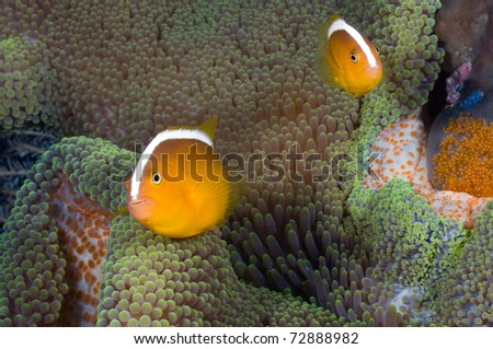 Two skunk anemone fishes with eggs breeding. - stock photo