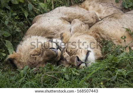 Two sleeping lions, Lake Nakuru National Park, Kenya, Southeast Africa - stock photo