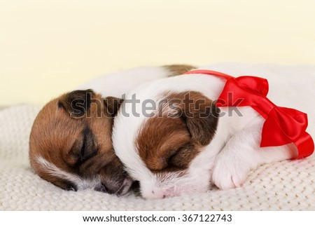 Two sleeping puppies presented as a gift and decorated with red bow. - stock photo