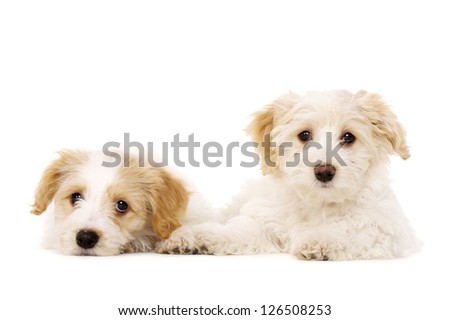 Two sleepy Bichon Frise cross puppies laid down isolated on a white background - stock photo