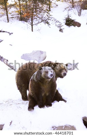 Two sleepy grizzly bear in the snow - stock photo