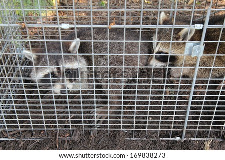 Two small American raccoons (Procyon lotor) caught in a live trap in a homeowners back yard - stock photo