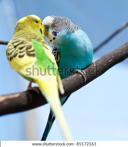 Two Small Budgies Kissing on Tree Branch - stock photo