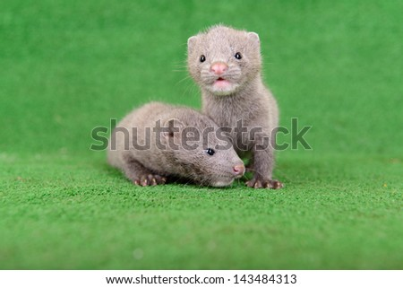 Two small gray animals mink are played on a green background - stock photo