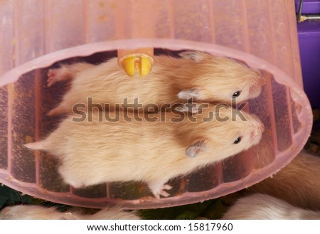 two small hamsters running in the wheel - stock photo