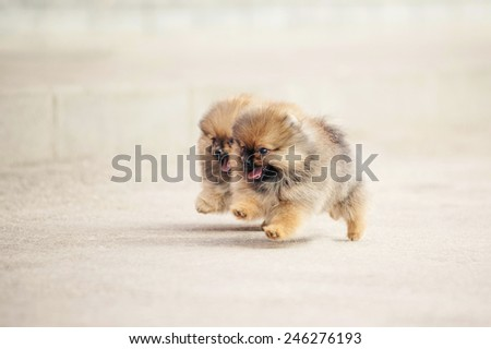 Two small Pomeranian Spitz puppies playing together outdoors  - stock photo